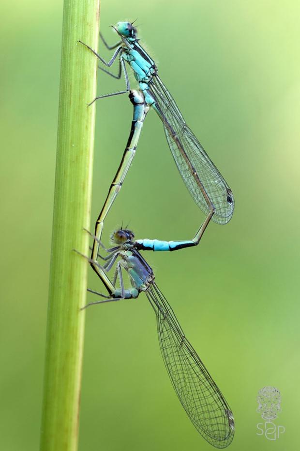 dragonflysex