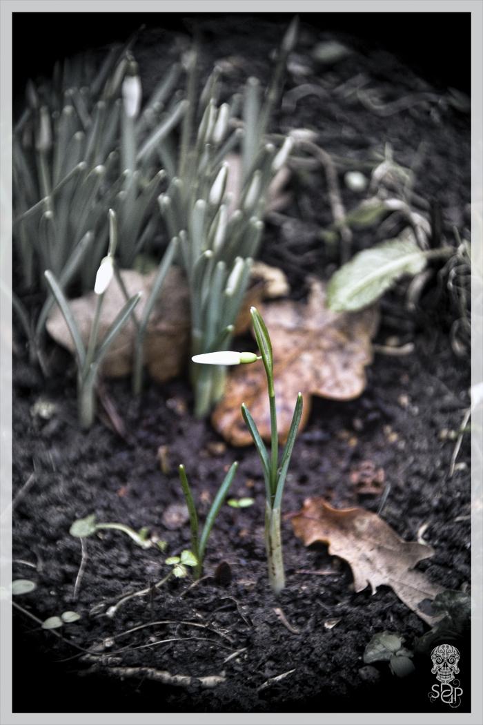 Growing Snowdrop
