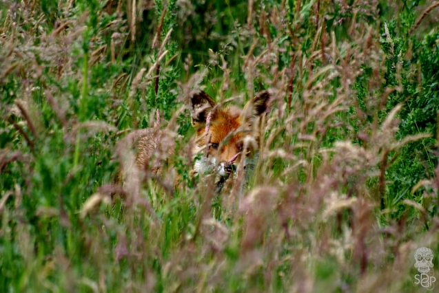 Fleet Fox