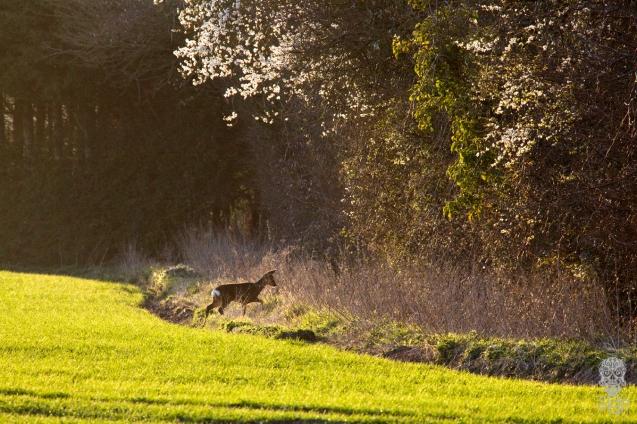Fleeting Deer