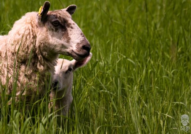 A Lamb Blur