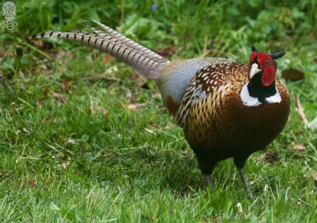 A Pheasant Blur