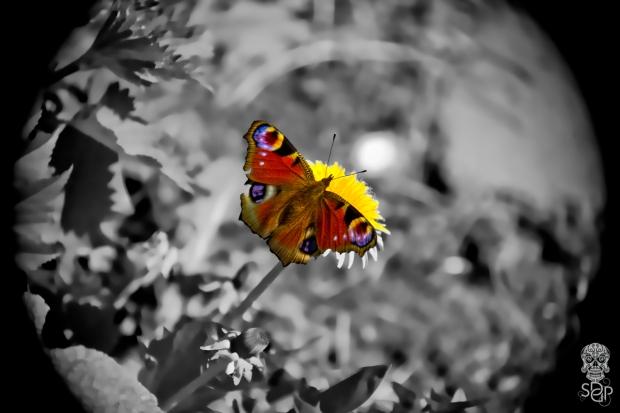 Peacock Butterfly - open wing