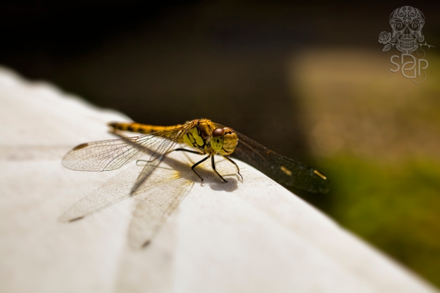 Zen Dragon Fly