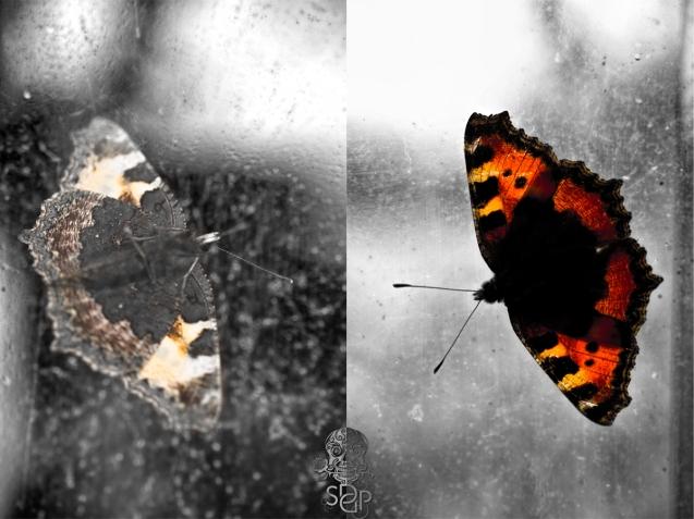 Summerhouse Butterfly