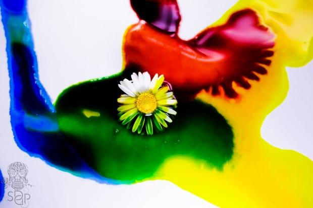 Coloured Daisy