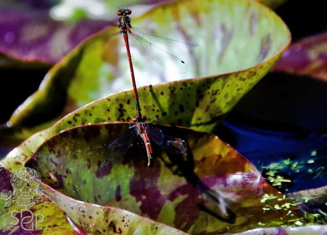 Damselfly duo - taking flight