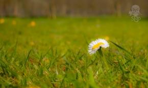 siamese daisy